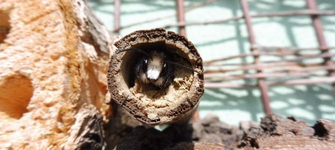 Naše balkónové včelky II – líhnutí a páření